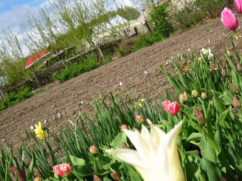 Фото с чем сажают тюльпаны 603