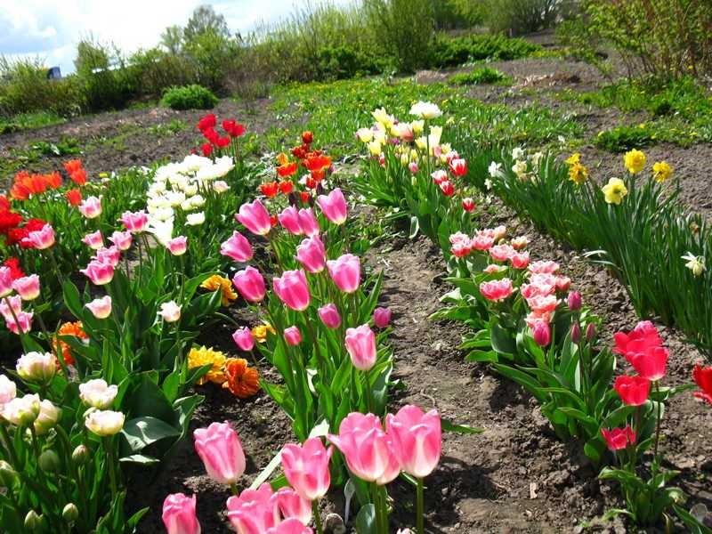 Фото с чем сажают тюльпаны 376