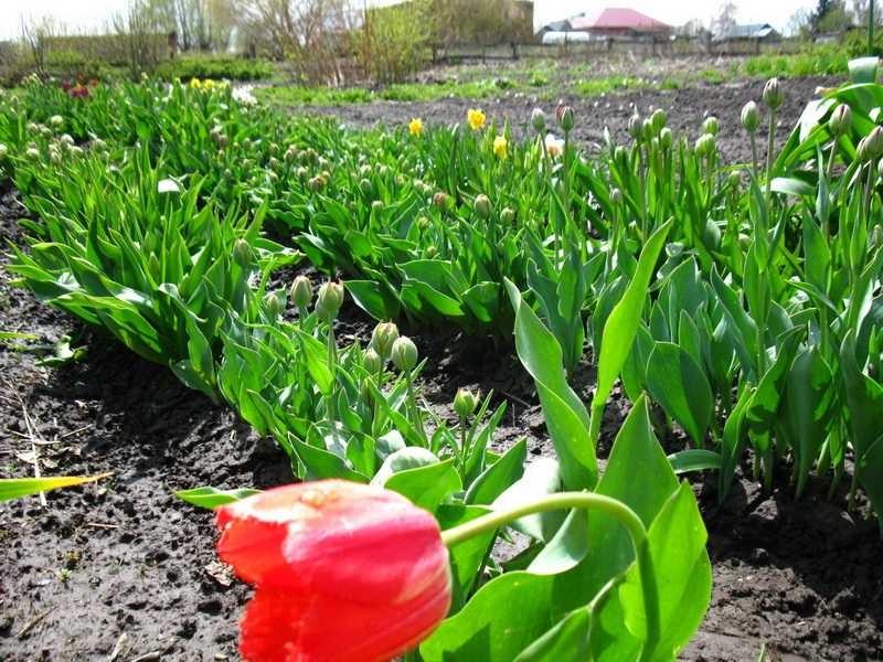 Когда сажать тюльпаны и нарциссы в подмосковье 17