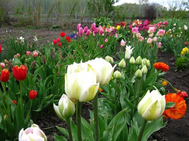 Фото с чем сажают тюльпаны 830