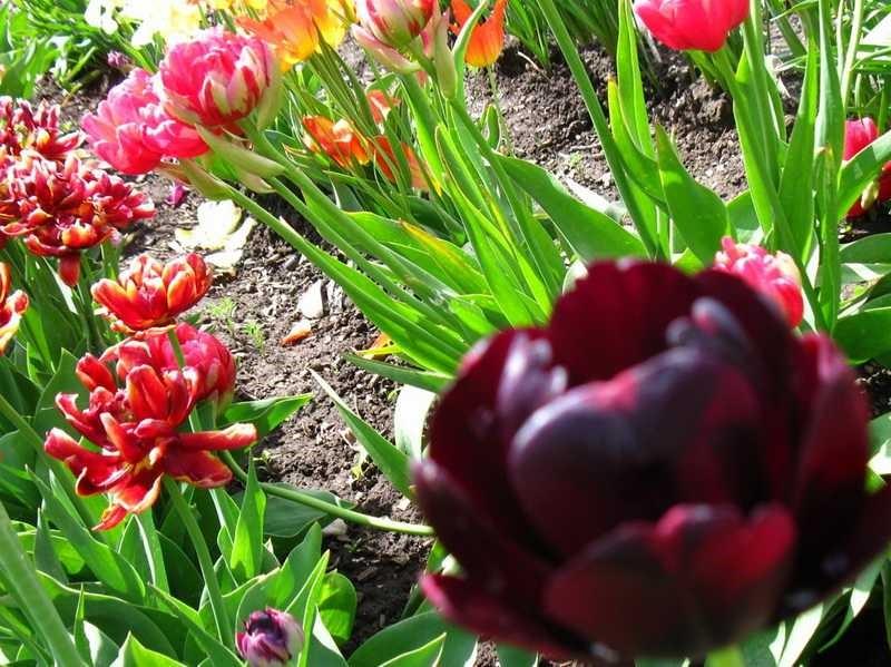 Тюльпаны выращивание уход 86