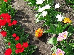 Фото тюльпанов в домашних условиях