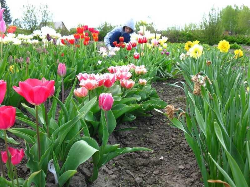 освещении стебли тюльпанов