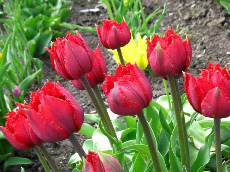 Как вырастить штамбовую розу? 2