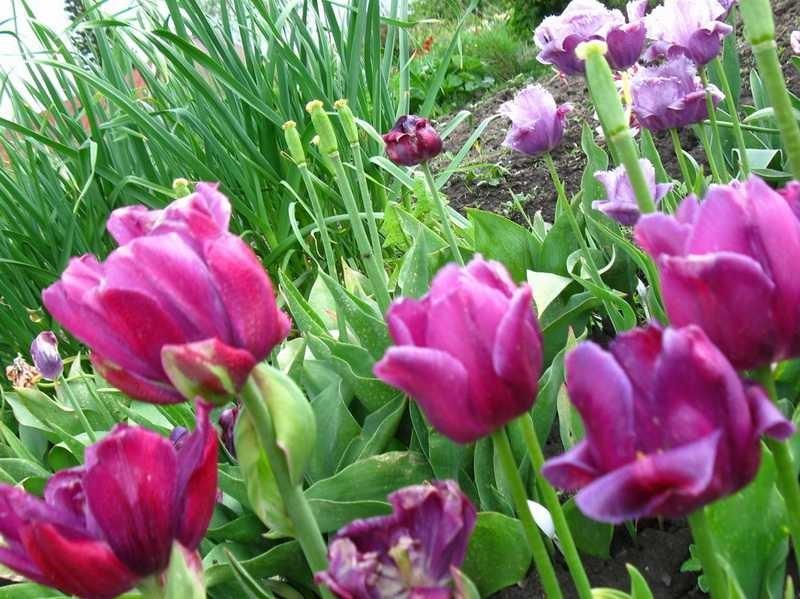 Тюльпаны выращивание уход 33