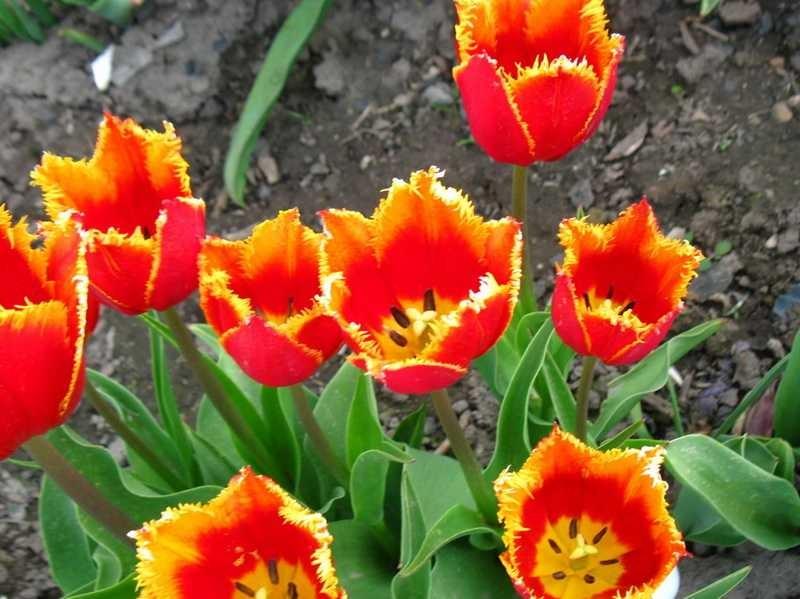 Ранняя выкопка тюльпанов