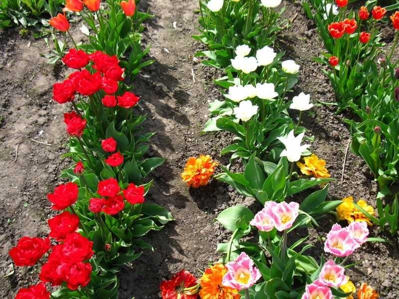 Цветы которые можно сажать по тюльпанам